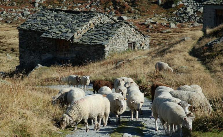 Bergerie et moutons