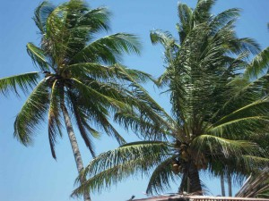 Palmiers et vent