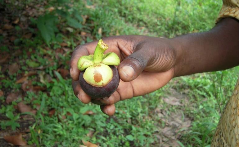 Mangoustier de la concession des Fils de la Charité, à Kasangulu, en RDC