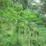Manguier de la concession des Fils de la Charité, à Kasangulu, en RDC