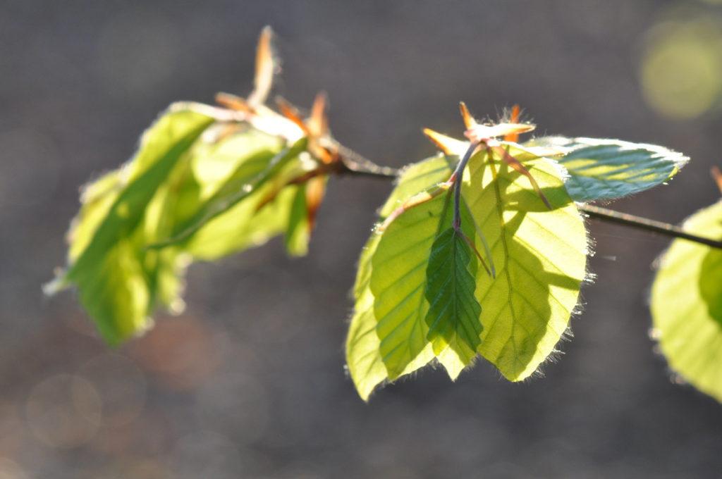 Bourgeons de feuilles à l'Abbaye de la Pierre-qui-vire